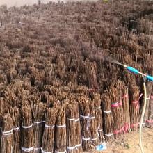 金蝉养殖种子枝条出售图片
