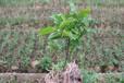 昭通沙糖桔苗木價格有沙糖桔苗木賣昭通大量批發沙糖桔苗木