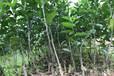 红河供应黄金柑橘苗|红河黄金柑橘苗基地批发|红河黄金柑橘苗销售价格