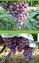 陕西渭南红提葡萄批发价格图片