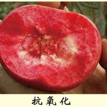 红肉苹果苗