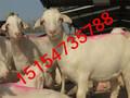 山东白山羊价格多少图片