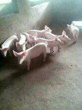 优良仔猪猪多少钱一斤三元仔猪养殖基地图片