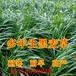 广东省乳源县黑麦草种子养猪牧草品种