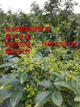 藤椒苗,藤椒苗研究中心,藤椒苗研究院,藤椒种植技术图片