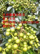 藤椒苗,藤椒产量,藤椒经济价值,藤椒苗出售图片