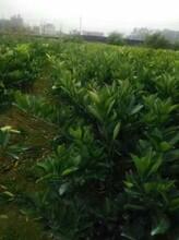 砂糖桔和纽荷尔脐橙各种果苗