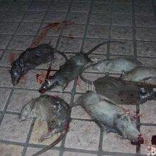 养殖场,养鸡场,养牛场,养猪场专用特效灭鼠药,绝杀一切老鼠,效果百分百