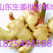 山东生姜基地优质大姜价格图片