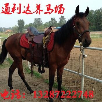 伊犁马的养殖基地骑乘马旅游马嘉辉养马场免费运输