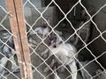 出售纯种狼青犬图片