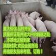 12/斤低价出售三元仔猪,品种好,长势快,欢迎选购图片