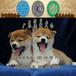 肇庆端州哪家狗场买狗信誉最好端州哪里有卖纯种日本柴犬