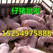哪里仔猪价格便宜、山东仔猪价格多少图片