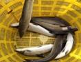 广东腾海水产鱼苗供应商家/供应优质银鳕鱼苗/生猛银鳕鱼苗批发出售图片