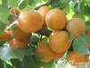 陕西金太阳杏子