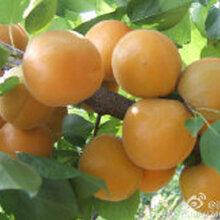 陕西金太阳杏子图片