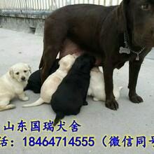 萨摩耶价格萨摩耶狗多少钱一只哪里有卖纯种萨摩耶犬的图片