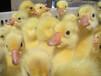 洛陽鵝苗孵化場,洛陽鵝苗價格,洛陽鵝苗養殖基地