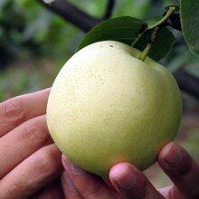 2017年鲜绿宝石梨已成熟永诚果业丰水梨、黄金梨、皇冠梨、鸭梨、山东梨图片