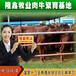 贵州安顺西门塔尔利木赞肉牛牛犊