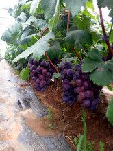 大量供应青葡萄、红葡萄图片