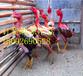 养殖斗鸡出售斗鸡苗图片