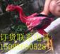 哪里销售越南鬼子斗鸡母鸡图片