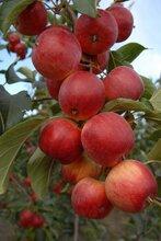 河北承德圍場金紅蘋果(123)、沙果、香果大量上市圖片