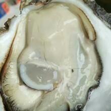湖州生蚝批发,广州最大海鲜批发市场,湛特产生蚝,