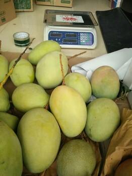 攀枝花米易凯特芒果果大味美自家果园