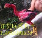 哪里卖越南小斗鸡苗价格出售