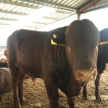 小肉牛苗多少钱一头$黄牛肉牛苗多少钱