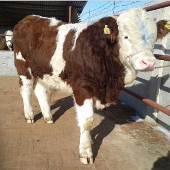 哪里能买到肉牛牛苗$肉牛牛苗价格