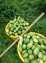 长期大量供应黄柠檬、有籽柠檬、青柠檬、香水柠檬、无籽柠檬图片