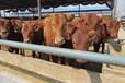 肉牛运输应激反应抗应激饲料肉牛浓缩饲料徐州宿州