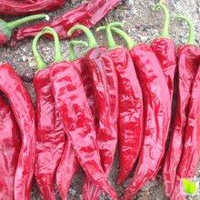 新疆干辣椒大量出售,金塔,线椒,板椒,各种色素椒图片