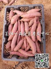 日本引进板栗红薯最好吃的红薯图片