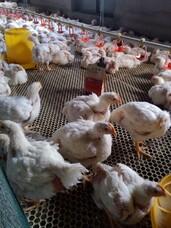 肉鸡催肥专用药,肉鸡后期催肥灵,催肥专用添加剂,家禽催肥增重王