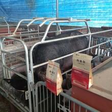 怀孕母猪不吃治疗方案母猪保健治疗方案图片