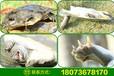 河南中华鳖批发野生甲鱼价格