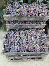 代收代购批发巨峰葡萄万亩葡萄种植基地图片
