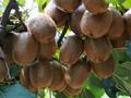世界猕猴桃大会的品质陕西眉县猕猴桃果农直销图片
