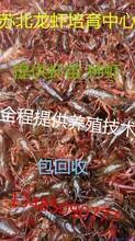 小龙虾种苗价格龙虾种苗批发