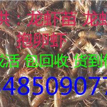 淡水小龙虾养殖利润图片