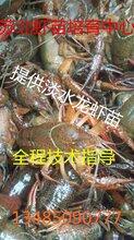 抱卵虾多少钱一斤图片