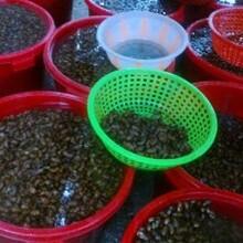 金蟬養殖技術,河北金蟬養殖,金蟬種植技術圖片