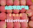 山东苹果批发种植基地今日红富士苹果批发价格