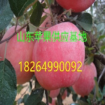 山东红富士苹果基地批发价格