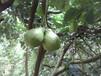 柚子批發價白心柚子蜜柚柚子,自已家種的。